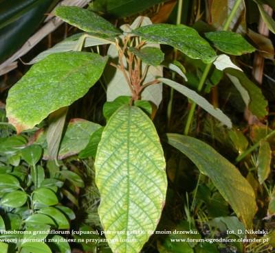theobroma grandiflorum plant 3.JPG