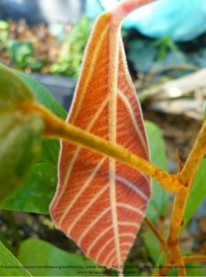 theobroma grandiflorum plant 9a.JPG