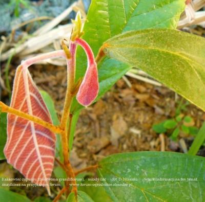 theobroma grandiflorum plant 10a.JPG