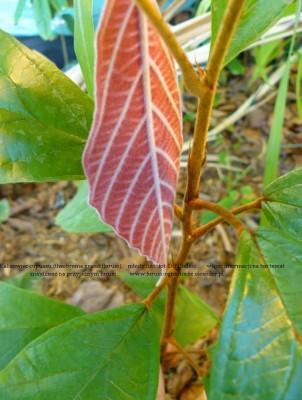 theobroma grandiflorum plant 11a.JPG