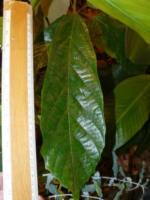 młode liście kakaowca cupuassu 2.JPG