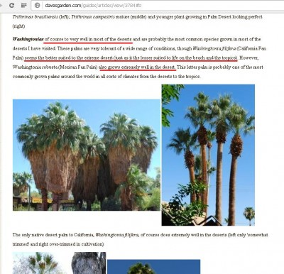 washingtonia2.JPG
