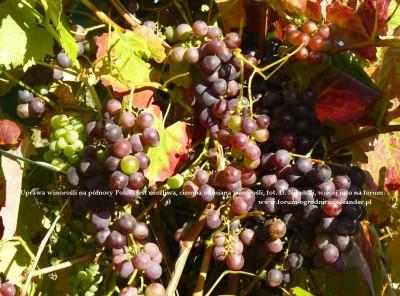 uprawa winorosli1.JPG