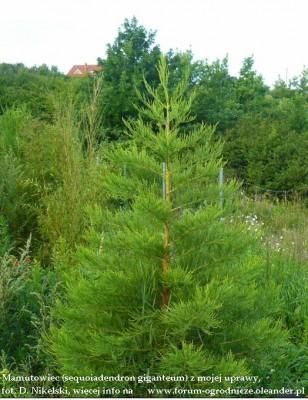 sequoiadendron giganteum 2,5m.JPG