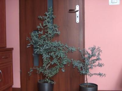 Eukaliptus gunni w Polsce - salon.jpg