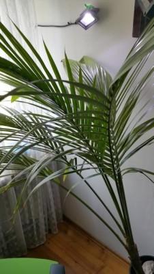 palma kokosowa yoyek.JPG