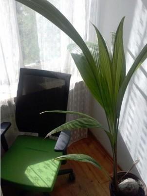 palma kokosowa yoyek1.JPG