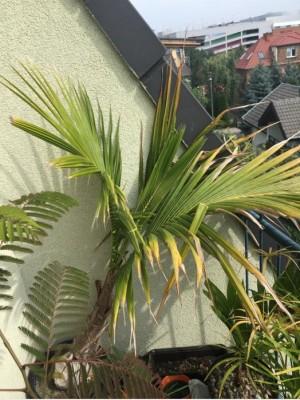palma kokosowa roslinarium.JPG