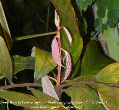theobroma grandiflorum 5 liści na raz.JPG