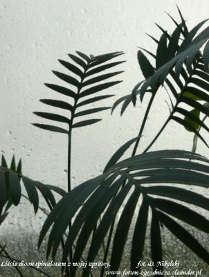 dioon spinulosum liście.JPG