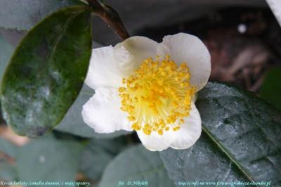 herbata kwiat 1.JPG