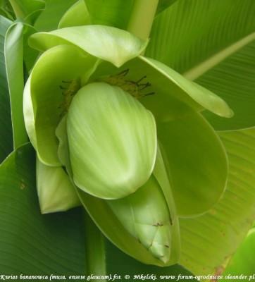 kwiat bananowca musa glaucum.JPG