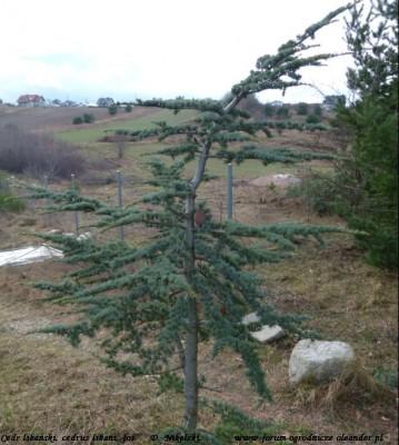cedr libański wygląd drzewka.JPG