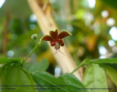 theobroma gileri flower.JPG