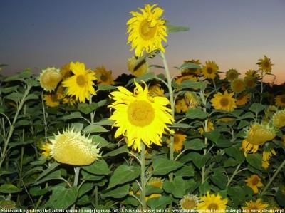 słonecznik ogrodowy 1.JPG