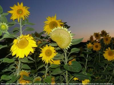 słonecznik ogrodowy 2.JPG