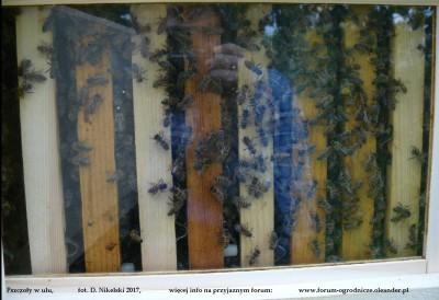 pszczoły w ulu.JPG
