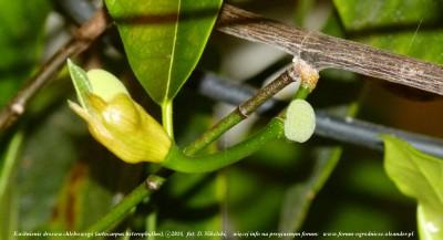 artocarpus kwitnienie 2.JPG
