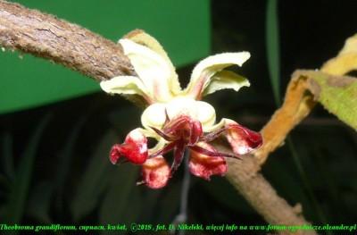cupuacu kwiatostan 1.JPG