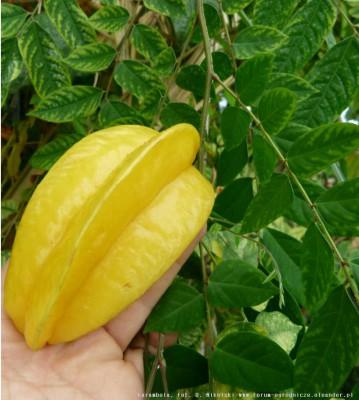 owoc karamboli 1.JPG