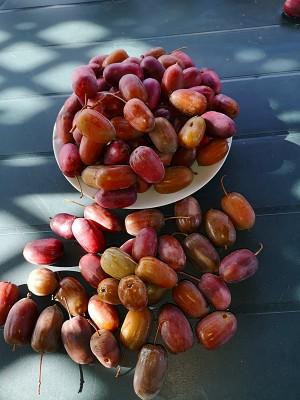 Owoce Aktinidii 006.jpg