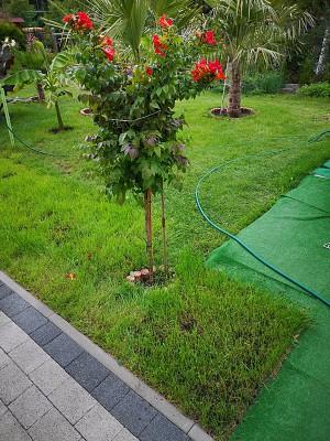 Trifoliata i milin 005.jpg