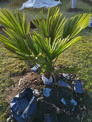 Palmy w lutym 004.jpg