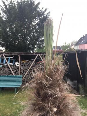 palma i czubek2.jpg