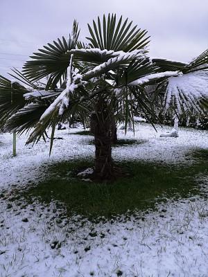 Palmy i śnieg + bananowiec 012.jpg