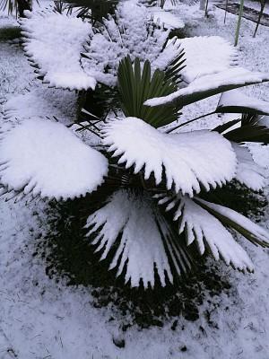 Palmy i śnieg + bananowiec 016.jpg