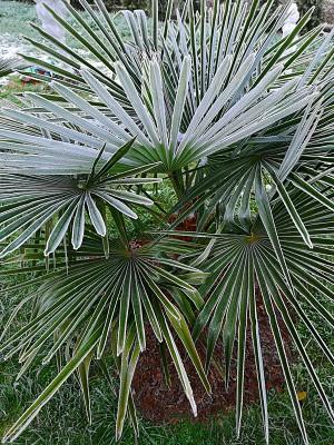 Zmrożone palmy 001.jpg