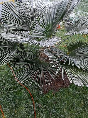 Zmrożone palmy 002.jpg