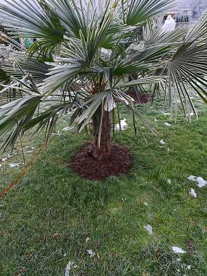 Zmrożone palmy 003.jpg