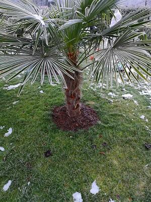 Zmrożone palmy 004.jpg