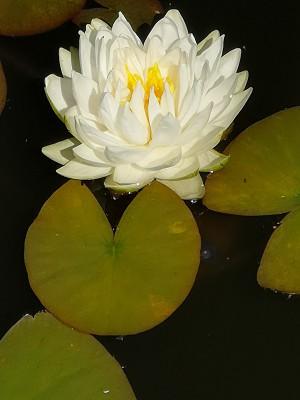 Lilie wodne, banawiec, pomarańcza, kktusy 009.jpg