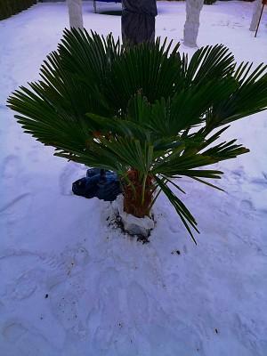 Trachycarpus Wagnerianus 005.jpg