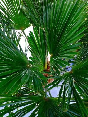 Trachycarpus Wagnerianus 003.jpg