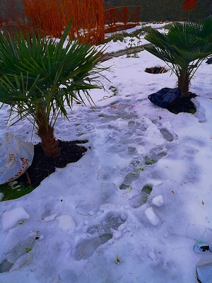 Trachycarpusy 003.jpg