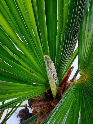 Trachycarpusy 001.jpg