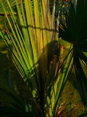 Bananowiec i liście palmy 002.jpg