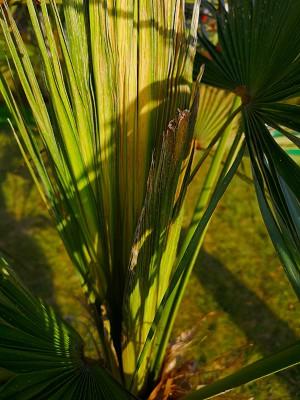Bananowiec i liście palmy 003.jpg