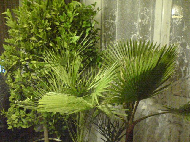 Palmy1.jpg
