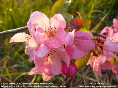 rajska jabłoń kwiaty.JPG