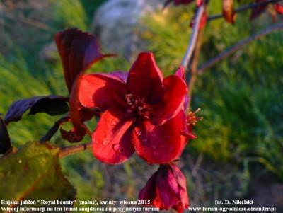 rajska jabłoń kwiaty royal beauty.JPG