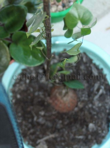 Dioscohea elephantipes.JPG