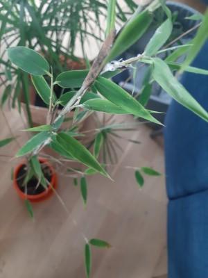 atak na bambusa 3.jpg